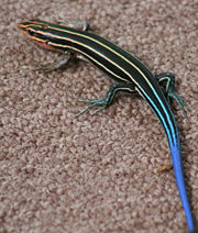 180px-Blue_Tailed_Skink